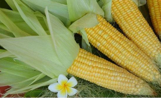 玉米期货有望持续坚挺?玉米价格局部地区最高可达1.10元/斤